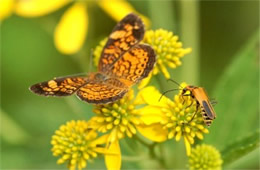 Phyciodes tharos and Chauliognathus pennsylvanicus - pearl crescent butterfly and soldier beetle