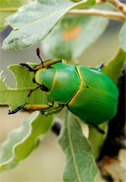 Chrysina woodi - Wood's Jewel Scarab Beetle