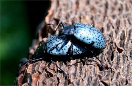 Gibbifer californicus - Pleasing Fungus Beetle