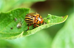 Leptinotarsa decemlineata - Colorado Potato Beetle