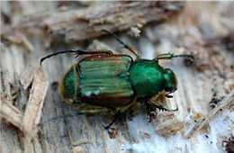 flower scarab beetle
