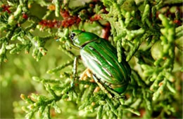 Chrysina gloriosa - Glorious Beetle