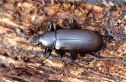 Carabidae - ground beetle