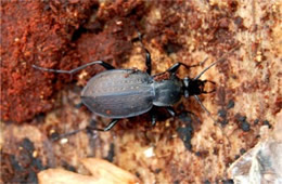 Carabus goryi - Ground Beetle