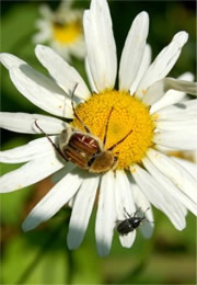 Trichiotinus - Hairy Flower Scarab and Weevil