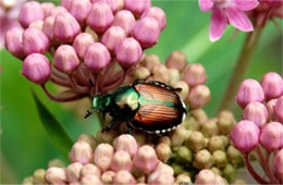 Popilla japonica - Japanese Beetle on Milkweed