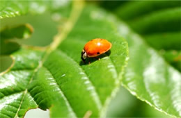 lady bird beetle