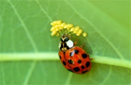 Harmonia axyridis - ladybird beetle eating insect eggs