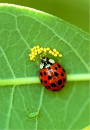 ladybird beetle eating insect eggs