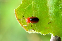 Anomoea laticlavia - Persimmon Leaf Beetle