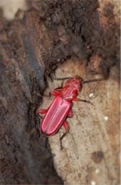flat red bark beetle
