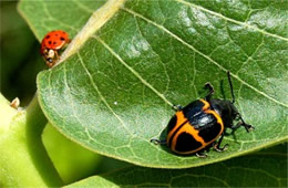 Ladybird Beetle and Swamp Milkweed Leaf Beetle