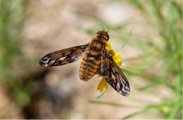 Dipalta banksi - Huron Shore Bee Fly