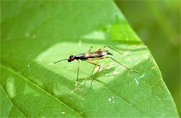 Rainieria antennaepes - Stilt-legged Fly