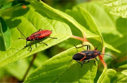 Boisea trivittata - Eastern Boxelder Bug and Nymph