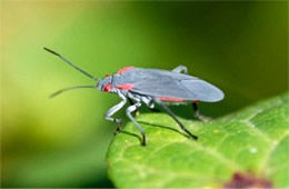 red shouldered bug