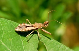 Sinea diadema - Spined Assassin Bug