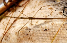 Ranatra fusca - Brown Waterscorpion