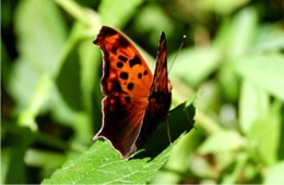 Polygonia - Anglewing Butterfly