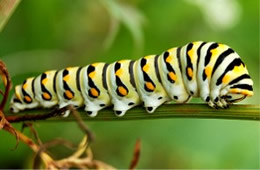 Papilio polyxenes - Black Swallowtail Caterpillar