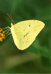 cloudless sulpur butterfly