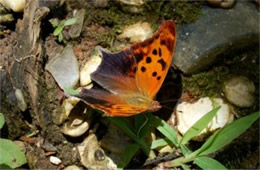 Polygonia comma - Eastern Comma Butterfly