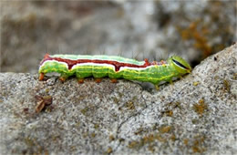 prominent moth caterpillar