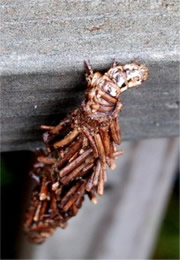 Thyridopteryx ephemeraeformis - Evergreen Bagworm Moth Caterpillar