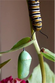 Danaus plexippus - Monarch Pupa and Caterpillar