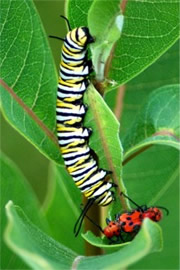 Danaus plexippus - Monarch Caterpillar on Milkweed (host plant)