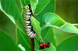 Danaus plexippus - Monarch Caterpillar