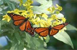 Danaus plexippus - Monarch Butterfly