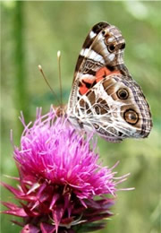 Vanessa virginiensis - Painted Lady Butterfly