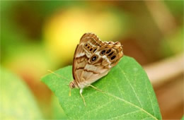 pearly-eye buttefly
