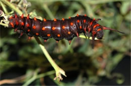 Battus philenor - Pipevine Swallowtail Caterpillar (Brown Captive Morph)