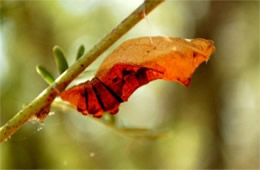 Battus philenor - Pipevine Swallowtail Pupa