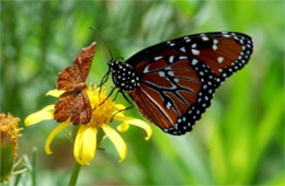 Danaus gilippus and Calephelis arizonensis - Queen and Arizona Metalmark