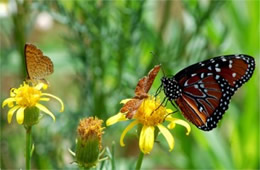 Danaus gilippus and Calephelis arizonensis - Queen and Arizona Metalmarks