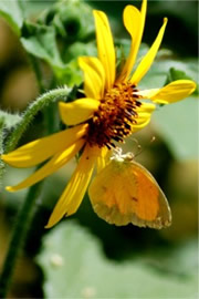 Coliadinae - Sulphur Butterfly