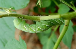 Manduca sexta - Carolina Sphinx Moth Caterpillar