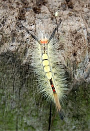 tussock moth caterpillar