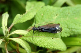 Nigronia - dark fishfly