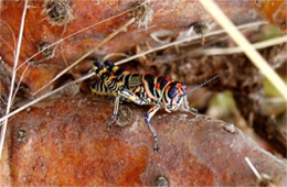 Dactylotum bicolor - Pictured Grasshopper