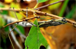 Diapheromera femorata - Northern Walking Stick