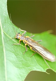 Isoperlinae - Green-Winged Stonefly