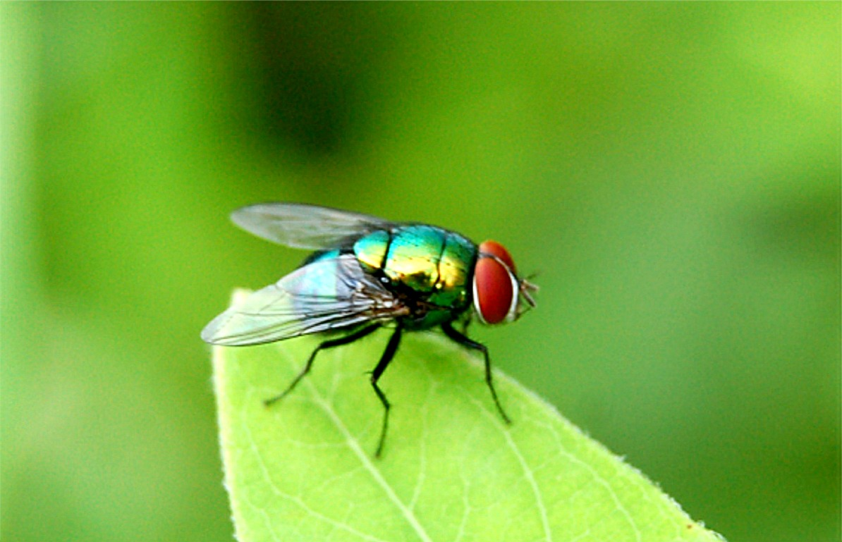 legged fly  insect  di...