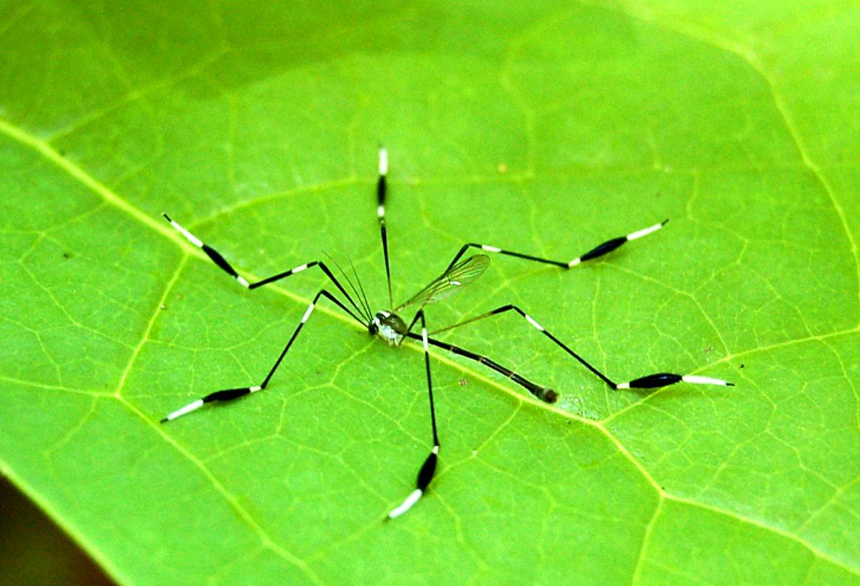 Creature feature cranefly