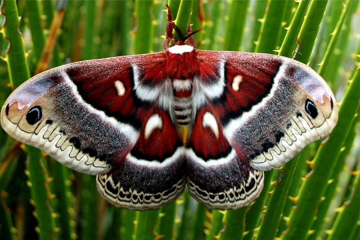 http://www.edupic.net/Images/Insects/lep_cecropia_moth071.JPG