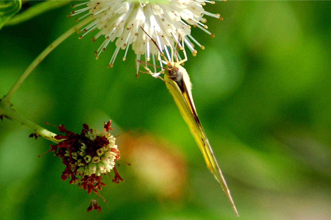 http://www.edupic.net/Images/Insects/lep_southern_dogface_sulfur781.JPG