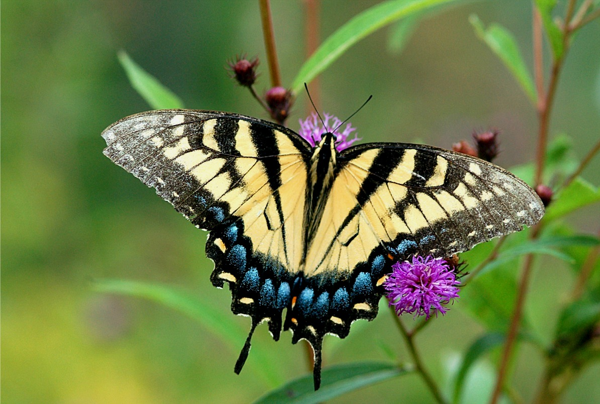 http://www.edupic.net/Images/Insects/lep_tiger_swallowtail_butterfly06.JPG